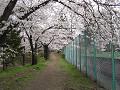 テニスコート脇桜(2010年)