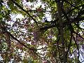 藤と八重桜