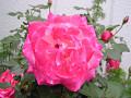 「少しピンぼけ」大輪のバラ
