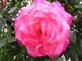 「少しピンぼけ」大輪の薔薇