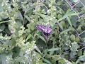 【虫注意】揚羽蝶