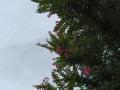 【加工済み】百日紅の咲く頃。
