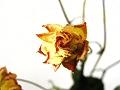 枯れた薔薇(少しピンぼけ)