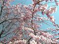 枝垂れ桜の花と空