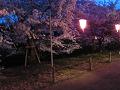 ぼんぼりに照らされる夜桜。