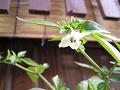 唐辛子の花を見上げる