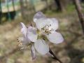 ロトウザクラの花。