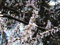 ロトウザクラの満開の枝。