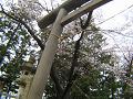 石の鳥居と桜