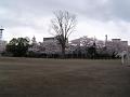 咲き誇る桜、不安げな空、そびえる巨樹