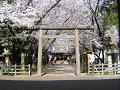 桜と鳥居と本殿と。