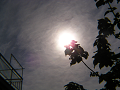 桐の枝の上の太陽