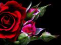【加工写真】 紅い薔薇:黒背景用