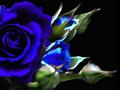 【加工写真】 紅い薔薇(青バラに加工)黒背景用