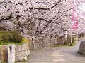 満開の桜の下の小道