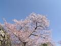 石垣と桜(散り際)