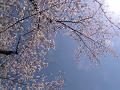 【ピンぼけ気味】桜の木漏れ日