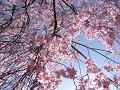 しだれ桜の傘の内