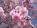 八重の桜(しだれ桜)