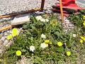 工事現場の足下の春(黄色いたんぽぽと白いたんぽぽ)