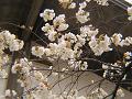 鬱金の桜。