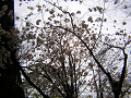 鬱金桜と黄色い朝日。