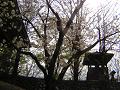 鬱金の桜と石垣と鐘楼