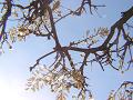 白い藤の花を見上げる。