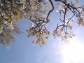 咲き始めの白い藤の花を見上げる。