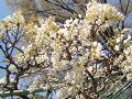 咲き始めの白い藤の花
