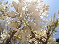 日の光を浴びて白く光る藤の花