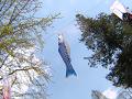 青い小さな鯉のぼり