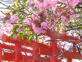 朱色の鳥居と濃い桃色の牡丹桜(里桜)