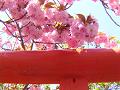 鳥居の上の八重桜。