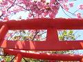 鳥居と八重桜