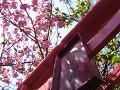 桜の木漏れ日と稲荷の鳥居。