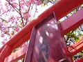 稲荷の鳥居と桜の木漏れ日。