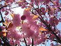 陽は桜の花びらに透けて