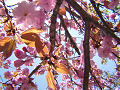日を浴びる桜葉