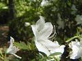 白いツツジの花の中に小さな蜘蛛