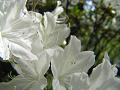 群れ咲く白い躑躅