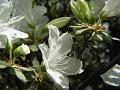 白いつつじの花