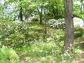 白い躑躅や春紫苑(多分)が咲く丘。