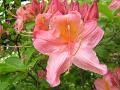 蓮華躑躅の花を正面から