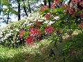 斜面に咲くレンゲツツジと白いツツジ