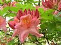 レンゲツツジの花と蕾