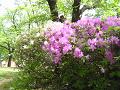 白いツツジと薄紫色のツツジ。