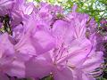 薄紫色のツツジ(アップ・若干ピンぼけ)。