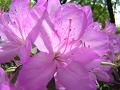 薄紫色のツツジ(アップ・若干ピンぼけ)。 光が透ける。