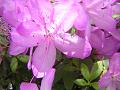 薄紫色のツツジ(アップ)。 陽光を透かして。